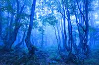 秋田県 霧に包まれた夜明けのブナの森