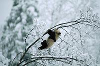 枝にぶら下がるパンダ