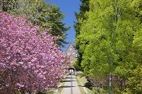 北海道 春のトラピスト修道院 サクラ