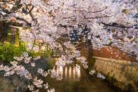 京都府 祇園白川の夜桜