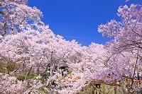 長野県 高遠城址公園 高遠小彼岸桜と桜雲橋