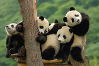 ジャイアントパンダの赤ちゃん
