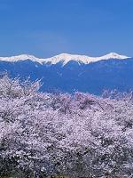 山梨県 桜咲く花鳥山より南アルプス(農鳥岳、間ノ岳、北岳)