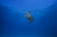 インド洋 マダガスカル 水面へと向かうタイマイのメス