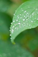 五月雨と葉