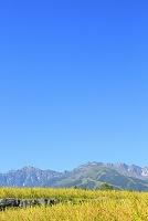 長野県 稲田の田園風景と北アルプス