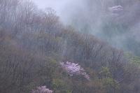 霧雨と山桜