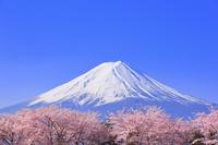 山梨県 朝の富士山と河口湖畔の桜