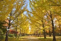イチョウ並木黄葉