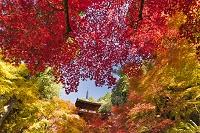 滋賀県 金剛輪寺 血染めの紅葉と三重塔