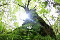 静岡県 カエデの巨木に共生する白い花と新緑の原生林