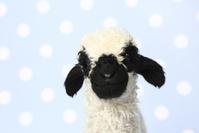 羊 ヴァレーブラックノーズシープ