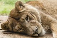 旭山動物園 ライオン