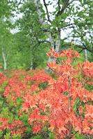 長野県 乗鞍高原 レンゲツツジの花と新緑の樹林