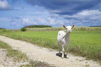 沖縄県 波照間島内のヤギ