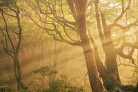 鹿児島県 夕日に染まる光と原生林 高塚小屋 屋久島
