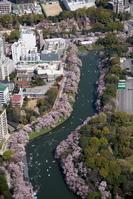 東京都 満開の桜の千鳥ヶ淵周辺