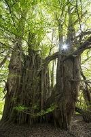 青森県 白神山地 イチョウの樹
