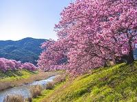 静岡県 みなみの桜
