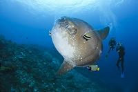 インドネシア沖 マンボウ