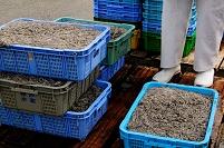 明石林漁港でいかなごの水揚げ