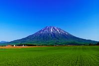 北海道 残雪の羊蹄山と緑の秋まき小麦畑