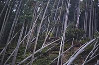 京都 台風で倒れた杉山