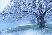 新潟県 瓢湖の桜と雪