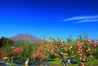 青森県 弘前市 りんごと岩木山