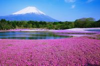 山梨県 冨士河口湖町 富士芝桜まつりと富士山