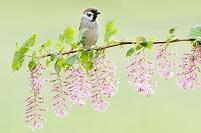 花咲く枝に留まるスズメ