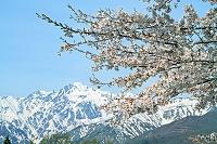 長野県 桜と五竜岳