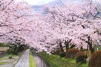 京都府 哲学の道の四季定点撮影(春)