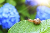 カタツムリと雨に濡れる紫陽花