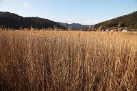 滋賀県 西の湖 葦