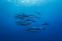 小笠原 ハシナガイルカの群れ