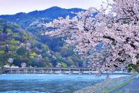 京都府 京都市 渡月橋 桜