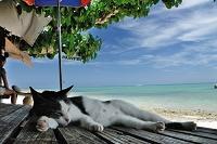 お昼寝 沖縄県 竹富島 カイジ浜 猫
