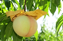 岡山産 清水白桃の栽培