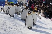 北海道 旭山動物園 ペンギンの散歩