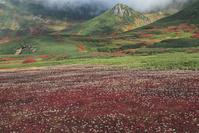 北海道 裾合平のチングルマの紅葉