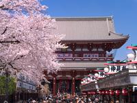 東京都 桜が満開の浅草寺