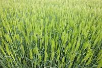 香川県 香川の大麦