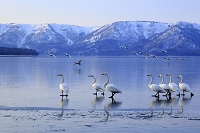北海道 ハクチョウ オオハクチョウ 飛翔 屈斜路湖 国立公園