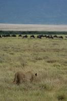 タンザニア ンゴロンゴロ保全地域 獲物を狙う雌のライオン