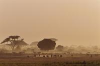 ケニヤ アンボセリ国立保護区 乾期のサバンナ