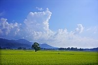 新潟県 田んぼ 一本の木