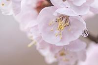 水滴をつけた桜花