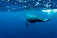 久米島 ザトウクジラ 子クジラ