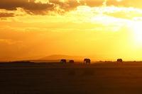 ケニア アフリカ サバンナの朝陽とアフリカゾウ